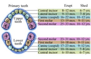tooth_exfoliation_chart